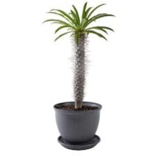گیاه طبیعی نخل ماداگاسکار مدل P-21