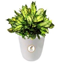 گیاه طبیعی آگلونما صدفی گلباران سبز گیلان مدل GN13-8S