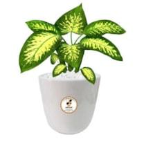 گیاه طبیعی دیفن باخیا گلباران سبز گیلان مدل GN13-15S