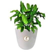گیاه طبیعی آگلونما سبز گلباران سبز گیلان مدل GN13-9S